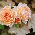 バラを食べると、便秘が改善する?~食べるローズは腸内環境改善効果あり!~