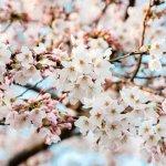 お花見で風邪はあるある!予防法はこれ!~予防医学のアンファー調査より~