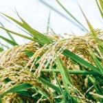 【抗酸化】米ぬかに含まれる「γ- オリザノール」とは?