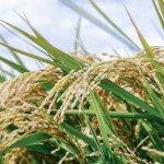 乳酸菌や酵母菌を使ったEM菌農法で、腐らないお米が作れる?!~発酵の抗酸化作用がスゴイ~