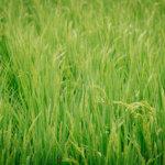 新スーパーフード穀物「TEFF(テフ)」のダイエット効果がすごいぞ。
